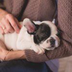 cuki francia bulldog kölyök