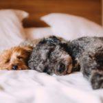 cuki kutyák ágyban