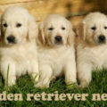 golden retriever nevek