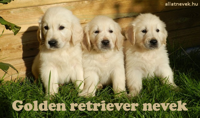 golden retriever nevek