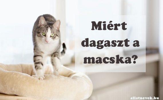 miért dagaszt a macska